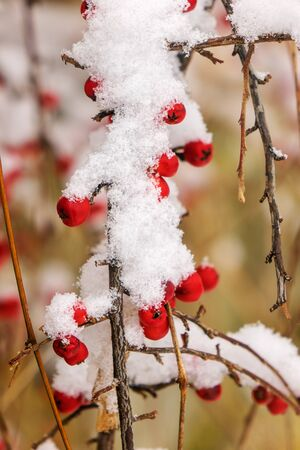 Wild poison berries covered with snow on bare branches Zdjęcie Seryjne
