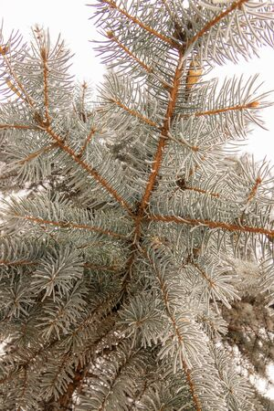 Branches of an evergreen tree covered with snow