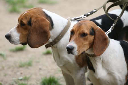 Beagles at an exhibition of dogs