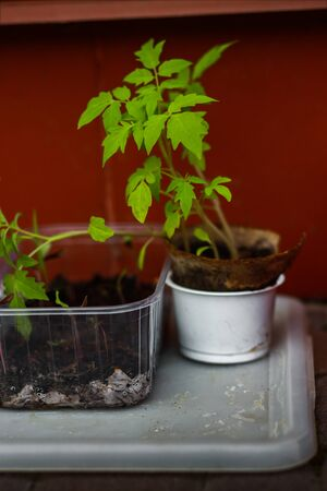 Tomato seeding prepared to be planted, beautiful close up. Outdoors shot, gardening concept.
