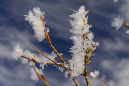 Winter flowers. Icicles on branches. sakura of siberia