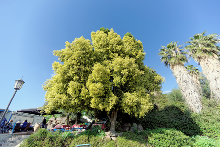 Israel. - February 17.2017. A beautiful tree with a lush light green crown near the restaurant of St. Peter.