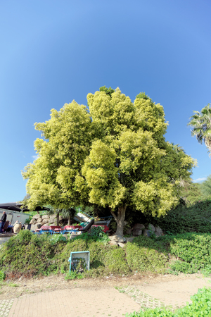 A beautiful tree with a lush light green crown in Israel. Stock Photo