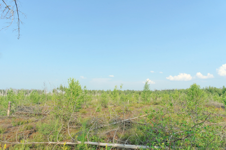 burned out: The wastelands from the forest fire in 2010 are overgrown with birches in central Russia