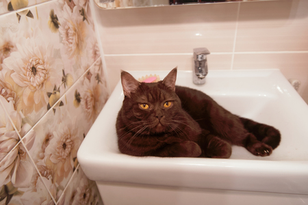 Scottish-Straight brown chocolate cat lies in the bowl of the washbasin. Stock Photo