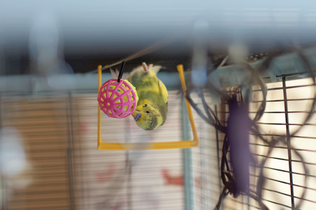 A young Budgeigar parrot walks upside down on the inside of the roof of the cage and plays with a bright ball of toy. The color of the parrot is dominant variegated dark green. Blurred background.