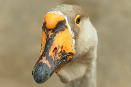 Portrait of a goose close-up on a blurry background of brown color Banque d'images