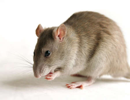 Rat Stockfoto - 350879