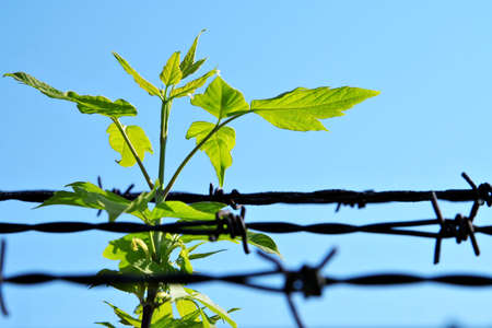 political prisoner: leaf and old barbed wire Stock Photo