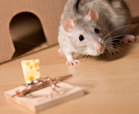 grasp: rat and cheese Stock Photo
