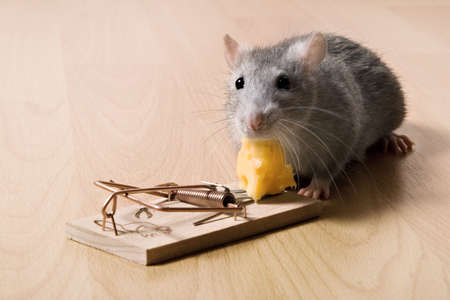 rat and cheese 版權商用圖片