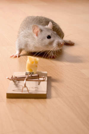 rat and cheese Zdjęcie Seryjne
