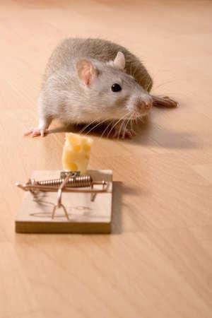 Rat en kaas Stockfoto - 403812