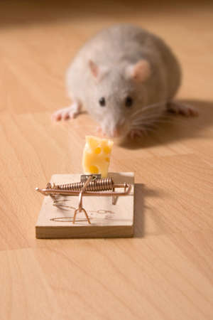 decoy: rat and cheese Stock Photo