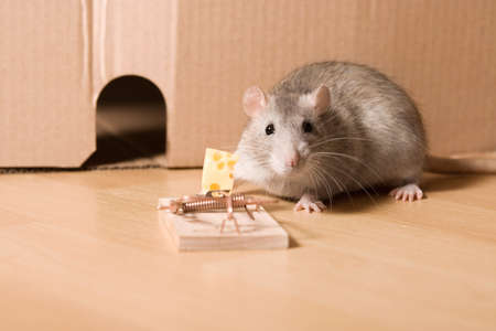 stupidity: rat and cheese Stock Photo