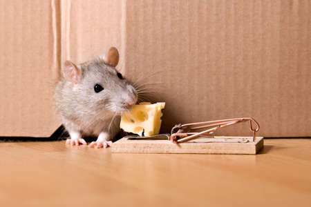 mousetrap: Ratto, mousetrap e formaggio  Archivio Fotografico