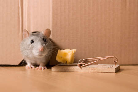 rat, mousetrap and cheese photo