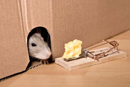 mousetrap: ratto, trappola per topi e formaggio