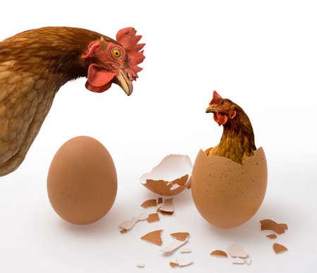 Wie was de eerste, de kip of het ei? Geïllustreerde filosofische dilemma.