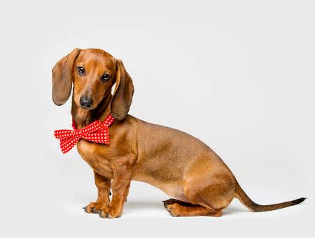 Teckel Hond in Tie Bow Geïsoleerde over witte achtergrond, Funny Animal Gekleed in Kleding, Side View Stockfoto - 41983302