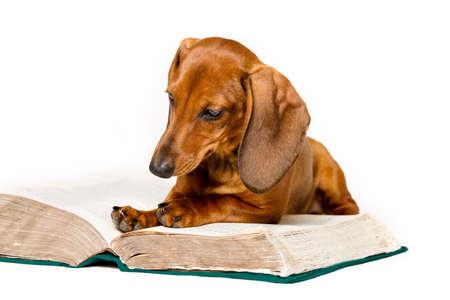 学校の教育訓練犬読み本、動物、スマートな白い背景上分離されたダックスフント読書