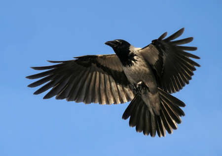 Crow Hover Open Wings, Bird Flying Up Stock Photo