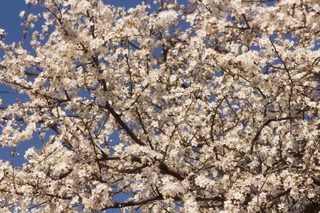 Lotus Blumige Magnolia, Großblütige Magnolie, Viele Schöne Rosa ...