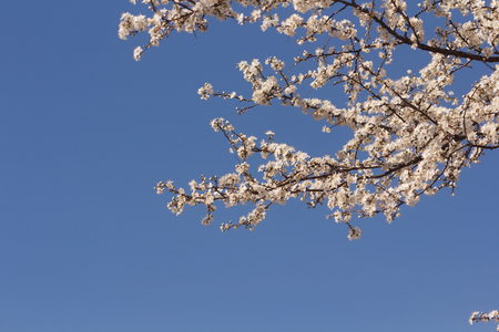 Tree with white flowers with clear sky on background Standard-Bild