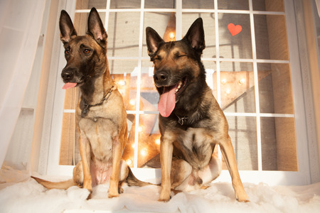 k9: Two happy malinois dogs sitting on background