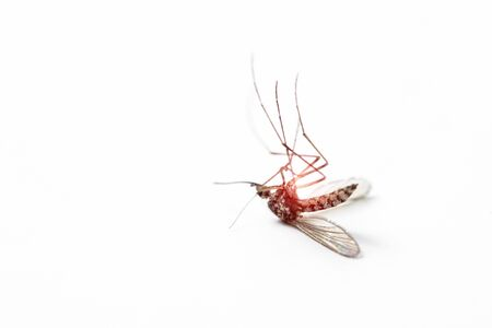 dead mosquito on white isolated background
