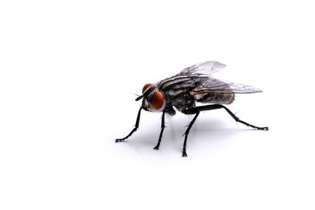 big fly on a white background close-up