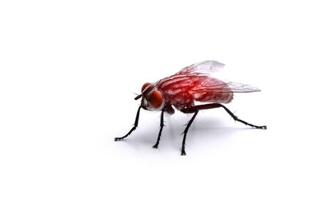 big fly on a white background close-up with red light