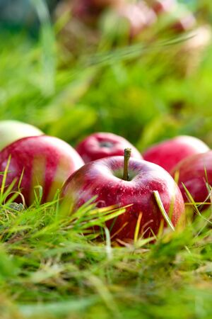 Freshly picked healthy organic apples on the grass. red apples on green grass in the garden.