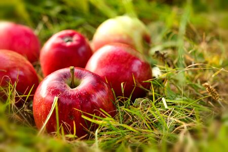 Freshly picked healthy organic apples on the grass. red apples on green grass in the garden. Reklamní fotografie