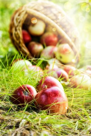 Freshly picked organic apples in a basket on nature.Fresh natural red apples in a wicker basket in the fresh air lit by the rays of the sun.