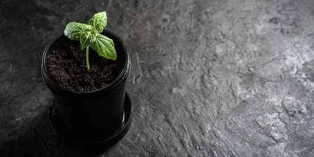 A lonely sprout in a black pot on a dark background with copies of space.