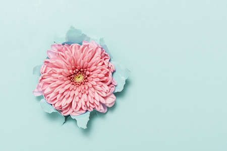 Pink flower through torn blue paper with copy space. Stock Photo