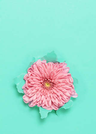 Pink flower through torn turquoise paper with copy space.