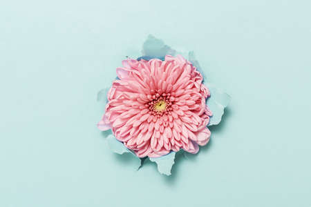 A pink flower through torn blue paper. Top view. Stock Photo