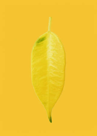 Yellowed ficus leaf on yellow background in close-up.