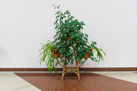 indoor ornamental plants in a flower pot on a wicker stand. home decor and decoration Banco de Imagens