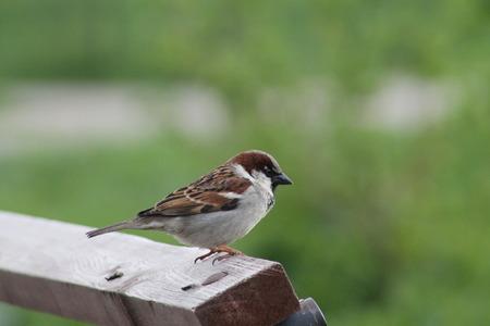 kleiner Vogel Spatz Nahaufnahme. Vögel und Tiere in freier Wildbahn. Tier-und Pflanzenwelt Standard-Bild