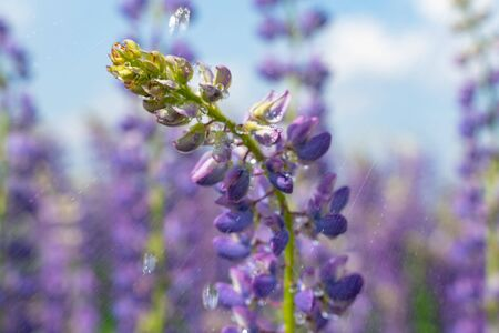 Beautifully blossomed lupine flowers and raindrops. Wildflowers