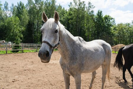 Beautiful white-gray horse walking on the field