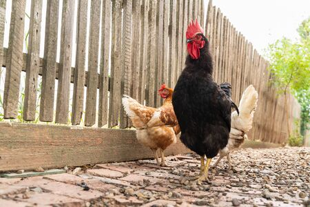 black rooster with red crest is walking in the yard. animals and birds on the farm Archivio Fotografico