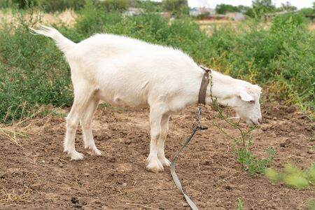 white house goat walking in the field. farm animals. agriculture and livestock