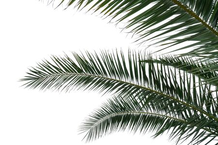 palm branches with green leaves on an isolated white background as a template