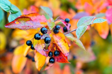 berries of a black chokeberry on a branch with colorful autumn leaves close up
