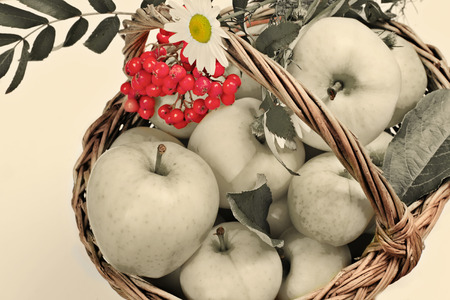 mountain ash: wattled basket with apples, a cluster of a mountain ash and a flower of a camomile in vintage style