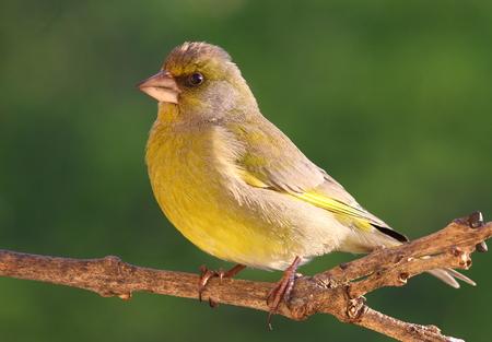 finch: European green finch on branch